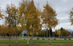 Dimond Stays Golden through a Warm Fall